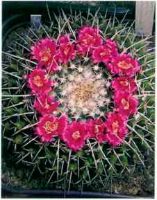 Small cactus identification cactus guide the cactus expert very variable clustering with heads up to 12 cm across csp short and fairly straight thr ugh to long and curved or even twisted fi deep pink to pale mightylinksfo