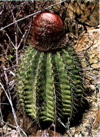 Cactus With Curved Spines