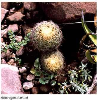 Ariocarpus Cultivation Of Cacti The Cactus Expert