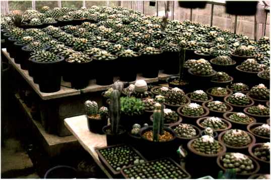 Ariocarpus Collection