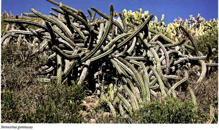Cacti With Long Flower Tubes