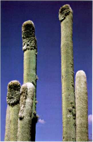 Cacti Cultivation